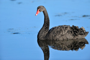 Black swans affect trading systems